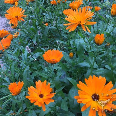 Calendula, Orange