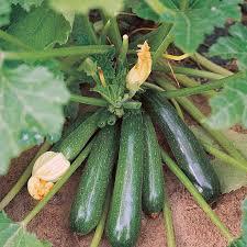 Zucchini, Elite