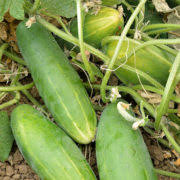 Cucumber, Poinsett 76