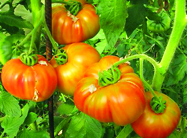Tomato, Striped German