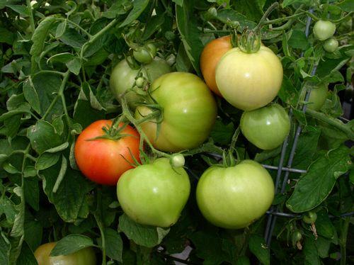 Tomato, Bush Early Girl