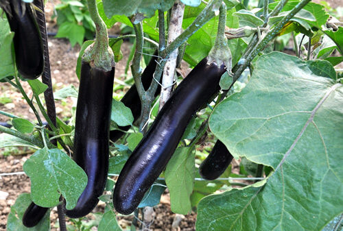 Eggplant, Early long Purple