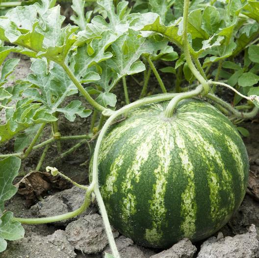 Watermelon, Sweet