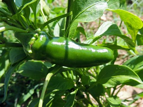 Pepper, Hot Jalapeno