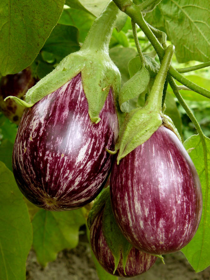 Eggplant, Listada