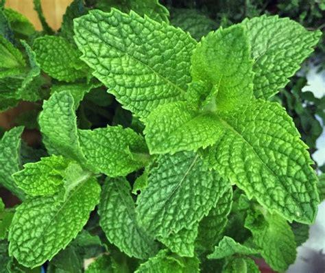 Herbs, Mint